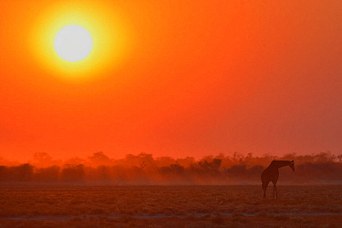 Giraffe (Giraffa camelopardalis) silhouetted with sun low in the sky, Etosha National Park, Namibia, June.