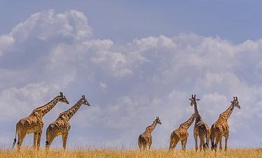 Small herd of Giraffes (Giraffa camelopardalis) against cloudy sky, Chobe River, Northern Botswana.