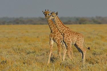 Two young Giraffes (Giraffa camelopardalis) Etosha National Park, Namibia, May.