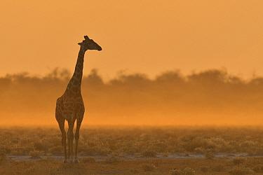 Giraffe (Giraffa camelopardalis) silhouetted, Etosha National Park, Namibia, July.