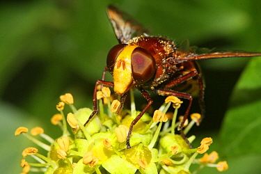 Hoverfly (Volucella inanis) feeding on Ivy flowers (Hedera helix) in a garden, Toulon, Var, France, October
