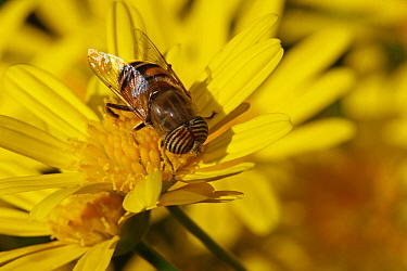 Band-eyed Drone fly (Eristalinus taeniops) feeding on Euryops flower (Euryops pectinatus) in a garden. Provence, France, November