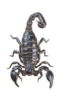 Common scorpion (Teuthraustes atramentarius) Metropolitan Park, Quito, Ecuador. Meetyourneighbours.net project