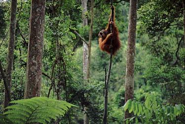 Sumatran Orang utan male in canopy calling out (Pongo abelii) Gunung Leuser NP, Sumatra, Indonesia
