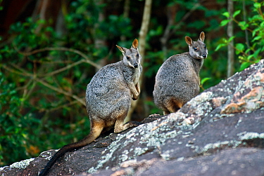 Allied Rock-wallaby (Petrogale assimilis) male and female pair, Bowling Green NP, Queensland, Australia. May.