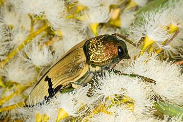 Jewel beetle (Temognatha chevrolati) feeding on Eucalyptus flowers, Lake Cronin Nature Reserve, Western Australia.