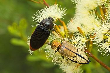 Jewel beetles (Temoghatha parvicollis and Temognatha chevrolati) feeding side by side on Eucalyptus flowers, Dragon Rocks Nature Reserve, Western Australia, February.