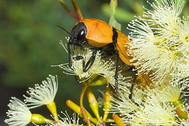 Jewel beetle (Temognatha heros) feeding on Eucalyptus flowers, Lake Cronin Nature Reserve, Western Australia, February.