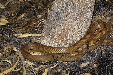King brown snake (Pseudechis australis) King Leopold Range NP, Kimberley, Western Australia, May. Dangerously venomous species.