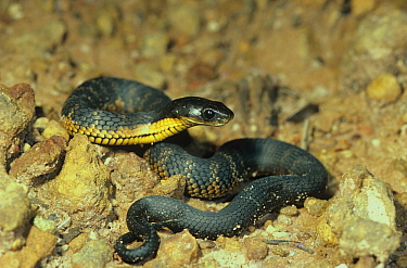 Western tiger snake (Notechis scutatus subsp. occidentalis) juvenile, Stirling Range National Park, Western Australia, October. Dangerously venomous species.