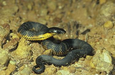 Western tiger snake (Notechis scutatus subsp. occidentalis) juvenile, Stirling Range National Park, Western Australia, October. Dangerously venomous species.
