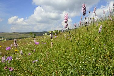 Meadow bistort (Bistorta officinalis / Polygomum bistorta) flowering in profusion on Piva plateau, near Trsa, Montenegro, July.