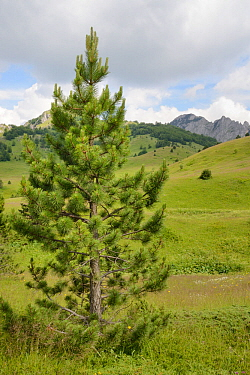 Young Black pine / Austrian pine (Pinus nigra) growing in alpine meadows in Sutjeska National Park, with the Zelengora mountain range, background, Bosnia and Herzegovina, July 2014.
