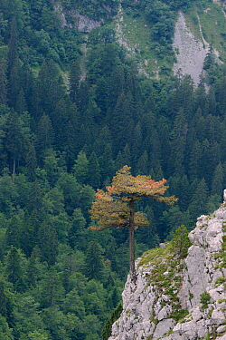 Black pine / Austrian pine (Pinus nigra) growing from limestone outcrop in Sutjeska National Park, Bosnia and Herzegovina, July 2014.