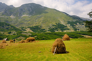 Farmer making a traditional haystack by hand on an alpine meadow in Durmitor National Park below Savin Kuc peak, near Zabljak, Montenegro, July 2014.