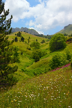 Alpine meadows in Sutjeska National Park with a profusion of wild flowers, including Spotted hawkweed (Hypochoeris maculata), Marguerites (Leucanthemum vulgare) and Rosebay willowherb (Epilobium / Cha...