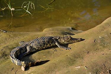 Siamese crocodile (Crocodymus siamensis) on bank, Thailand. Critically endangered.