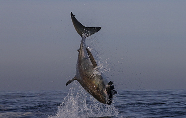 Great white shark (Carcharodon carcharias) leaping out of water to catch seal decoy, Seal Island, False Bay, South Africa, June.  -  Chris and Monique Fallows