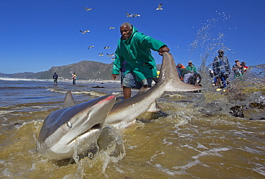 Bronze whaler shark (Carcharhinus brachyurus), caught in traditional seine net and released by fisherman, Muizenberg beach, Cape Town, South Africa, January 2014  -  Chris and Monique Fallows