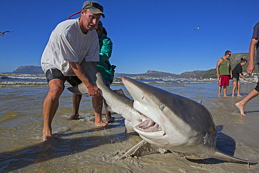 Bronze whaler shark (Carcharhinus brachyurus), caught in traditional seine net and released by fisherman, Muizenberg beach, Cape Town, South Africa, January 2014.  -  Chris and Monique Fallows