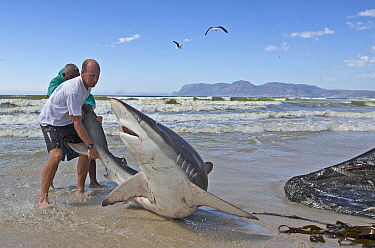 Bronze whaler shark (Carcharhinus brachyurus), caught in traditional seine net and released by fisherman, Muizenberg beach, Cape Town, South Africa, January.  -  Chris and Monique Fallows