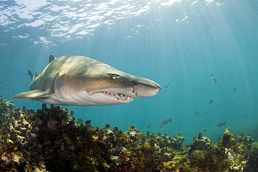 Ragged tooth shark (Carcharias taurus), De Hoop Nature Reserve, South Africa, March.  -  Chris and Monique Fallows