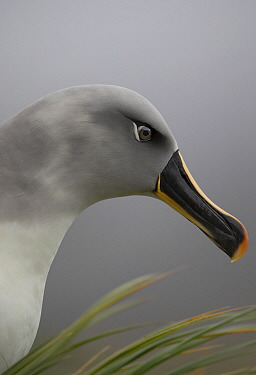 Grey headed albatross (Thalassarche chrysostoma) head profile potrait, South Georgia, January.  -  Chris and Monique Fallows