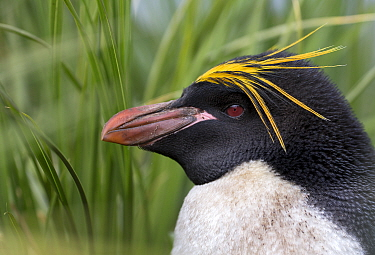 Macaroni penguin (Eudyptes chrysolophus) portrait, South Georgia, January.  -  Chris and Monique Fallows