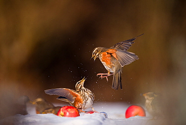 Redwings (Turdus iliacus) squabbling over an apple in snow. Derbyshire, UK, February. British Wildlife Photographer of the Year (BWPA) competition 2012, 'Animal Behaviour' category. (Non-ex) Winner of...