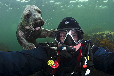 Underwater photographer Alex Mustard taking a self-portrait with a friendly young grey seal (Halichoerus grypus). Farne Islands, Northumberland, England, British Isles. North Sea. Model released.