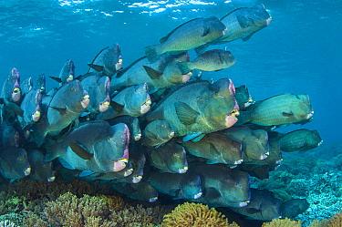 Bumphead parrotfish (Bolbometopon muricatum) gather at dawn on a shallow coral reef. Sipadan Island, Sabah, Borneo, Malaysia. Celebes Sea. Vulnerable species.
