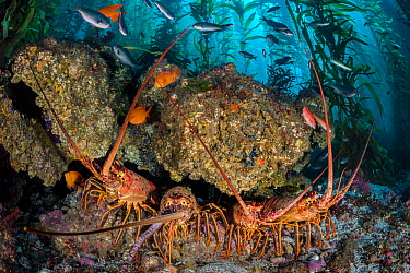 Four California spiny lobsters (Panulirus interruptus) shelter beneath a boulder in a kelp forest. Santa Barbara Island, Channel Islands. Los Angeles, California, United States of America. North East...