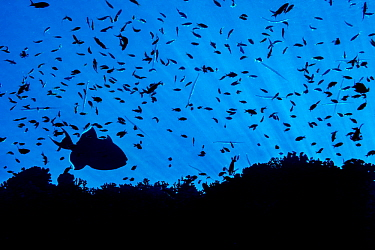 Silhouette of reef fish, including a Blue triggerfish (Pseudobalistes fuscus) and many Scalefin anthias (Pseudanthias squamipinnis). Ras Mohammed Marine Park, Sinai, Egypt. Red Sea.