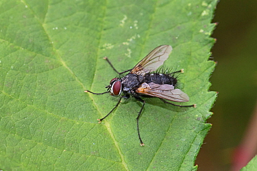 Tachinid fly (Thelaira nigripes) Brockley Cemetery, Lewisham, London, UK August