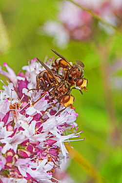 Thick-headed flies (Sicus ferrugineus) mating pair on Wild marjoram (Origanum vulgare) Hutchinson's Bank, New Addington, London, UK  August