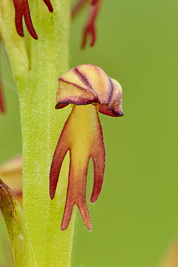 Man orchid (Orchis anthropophora) close up of individual flower, Bedfordshire, England, UK,  June . Focus stacked image