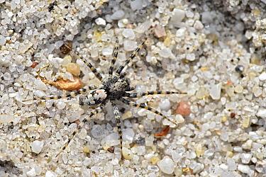 Spider (Arctosa perita) camouflaged against sandy habitat, Dorset, England, UK, May