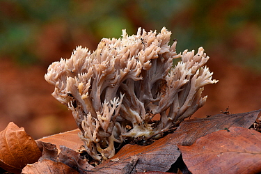 Grey coral fungi (Clavulina cinerea) coral like fungi growing up through beech leaf litter on forest floor, Buckinghamshire, England, UK, October . Focus stacked image