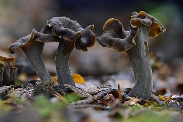 Horn of plenty fungus (Craterellus cornucopioides) trumpet shaped fungi that growing under deciduous trees, Buckinghamshire, England, UK, October. Edible species. Focus stacked image.
