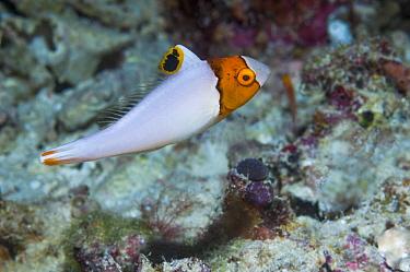 Two-colour / Bicolor parrotfish (Cetoscarus bicolor) juvenile,  Raja Ampat, West Papua, Indonesia.