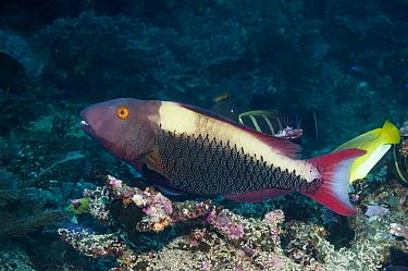 Two-colour / Bicolor parrotfish (Cetoscarus bicolor) female,   Raja Ampat, West Papua, Indonesia.