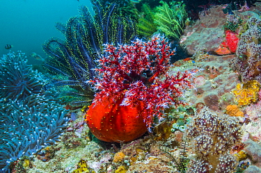 Sea apple (Pseudocolochirus violaceus) on coral reef.  It feeds by filtering the water column with its tentacular crown, successively bringing each arm into its mouth to deliver food particles.  Komod...