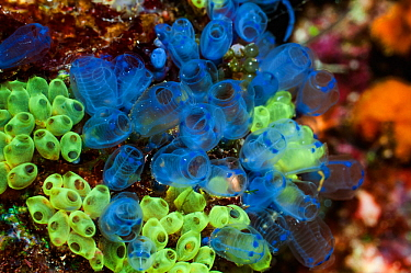 Blue sea squirts or tunicates (Clavelina moluccensis)  West Papua, Indonesia.