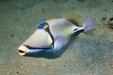 Arabian picassofish (Rhinecanthus assasi) Egypt, Red Sea.  Only found Red Sea to Gulf Oman and Arabian Gulf.