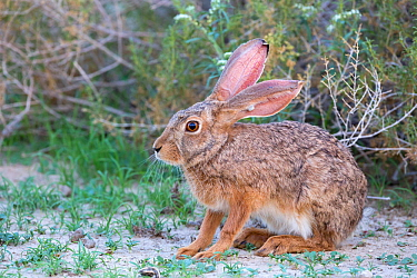 Cape hare (Lepus capensis) Kgalagadi Transfrontier Park, Northern Cape, South Africa
