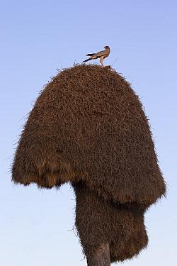 Southern Pale chanting goshawk (Melierax canorus) on Sociable weaver nest (Philetairus socius) Kgalagadi Transfrontier Park, South Africa, February