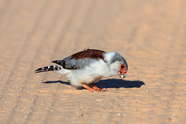 Pygmy falcon (Polihierax semitorquatus) female picking up grit, Kgalagadi Transfrontier Park, South Africa, January