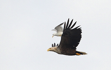 White-tailed Eagle (Haliaeetus albicilla) mobbed by common gull (Larus canus) Flatanger, Norway, July