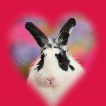Black-and-white rabbit, Bandit, with soft heart surround.