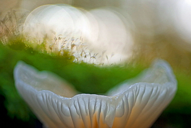 Porcelain fungus (Oudemansiella mucida) close-up, Germany, October